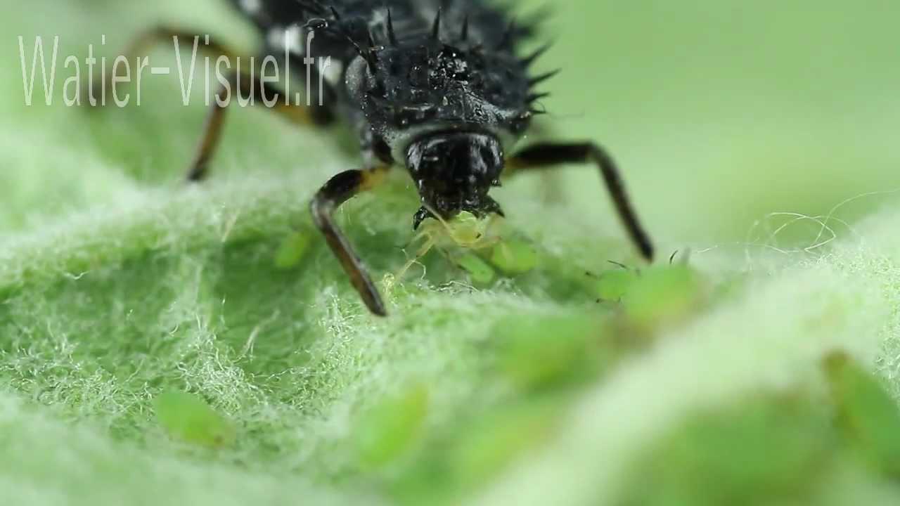 Larve de coccinelle d vorant une colonie de pucerons verts du pommier youtube - Larve de coccinelle ...