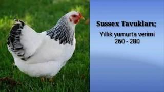 Haftada 9 Yumurta Yapan 8 Tavuk Cinsi