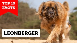 Leonberger  Top 10 Facts