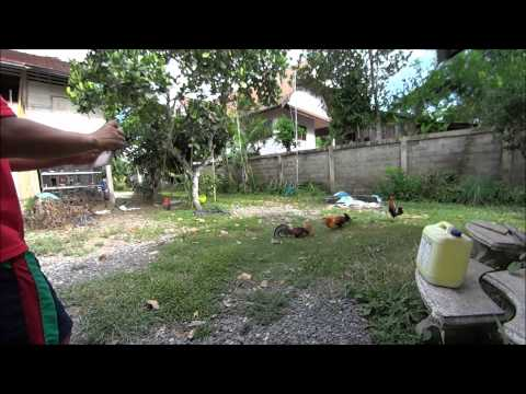 Hybrid Red Jungle Fowl Fighting ไลกวด YouTube