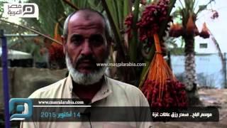 بالفيديو| موسم البلح بغزة.. لوحة جمال في واحة الحصار
