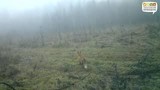 Лисица в Полистовском заповеднике