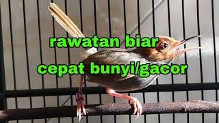 Perawatan Burung Prenjak Kepala Merah Biar Cepat Bunyi/Gacor