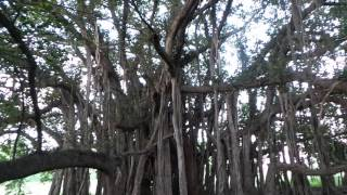 Big banyan tree PUNJAB discovered by RBS ROOTS