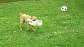 Rose Our Border Terrier