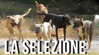 CANI DA GUARDIA: il concetto di selezione