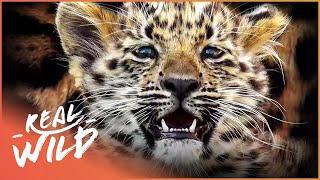 Critically Endangered Amur Leopard Births Twin Cubs! | Natures Newborns | Real Wild