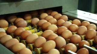 Œufs : la fin des élevages en batterie ? - Tout Compte Fait