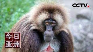 [今日亚洲]速览 前沿!世界首例 美狒狒接受心脏监测仪植入手术| CCTV中文国际