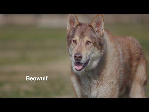 BEOWULF, AN AMAZING WOLF HYBRID