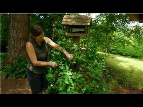 Transplanting & Maintaining Garden Perennials : How to Care for Honeysuckle