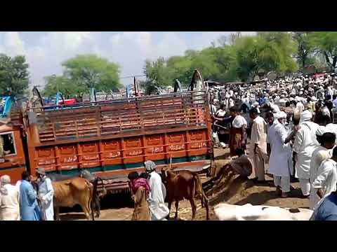 Khushab cattle mandi pindi road