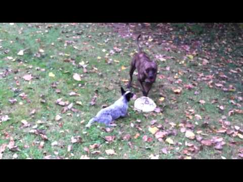 Pitbull vs Australian cattle dog