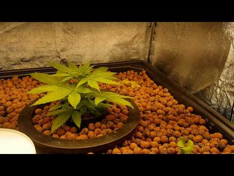 Growing legal cannabis in organic aquaponic system indoors