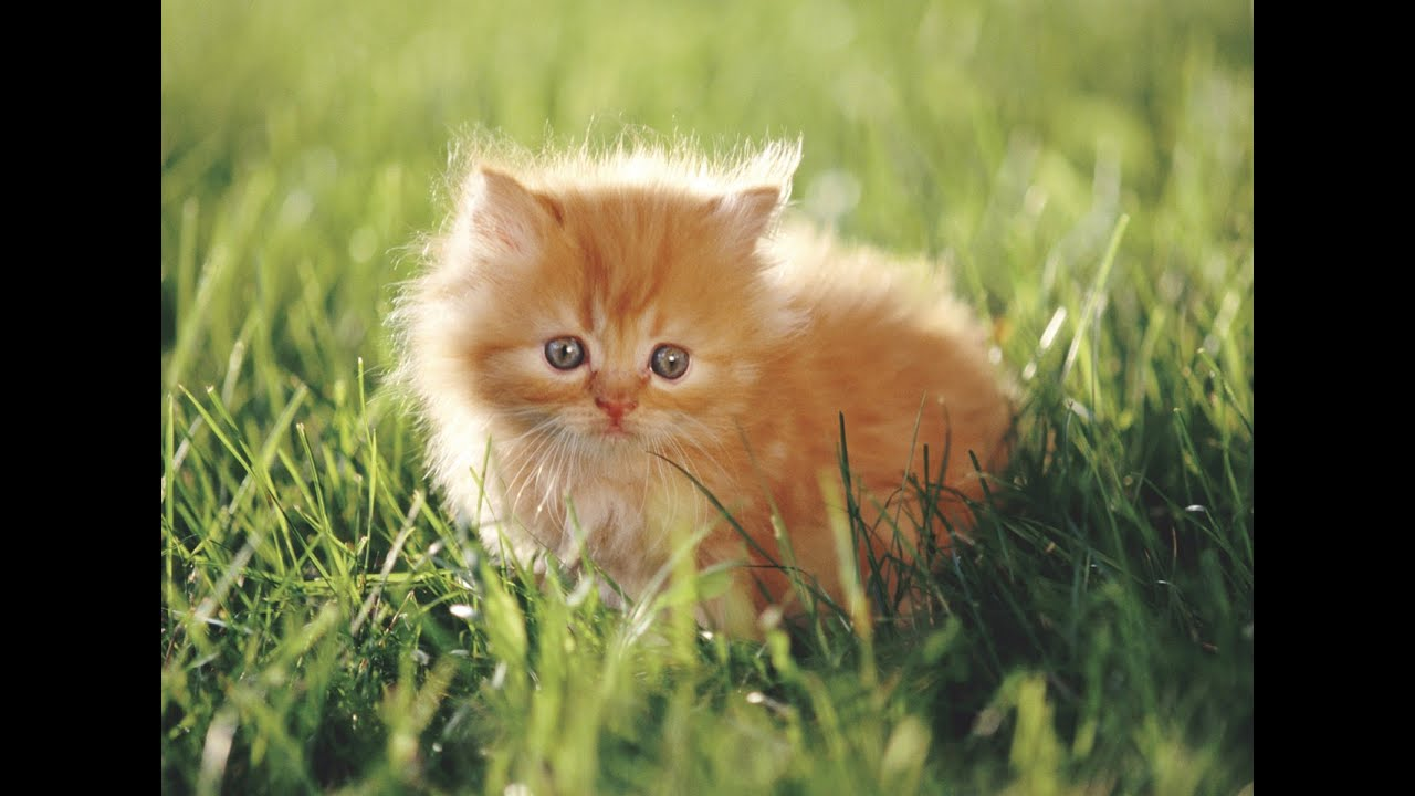 Cute munchkin baby kitten