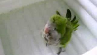 Sun Conure & Quaker Parrot Bath Time
