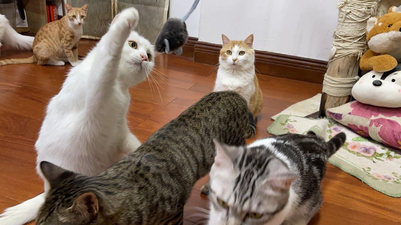 用一只老鼠,测试十几只猫谁是捕鼠能手,让养尊处优的猫练练手