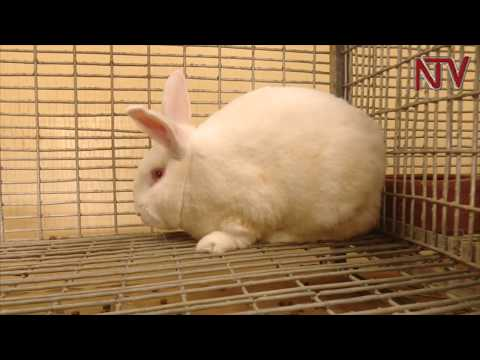 RABBIT REARING: A Windfall For Farmers In Kenya