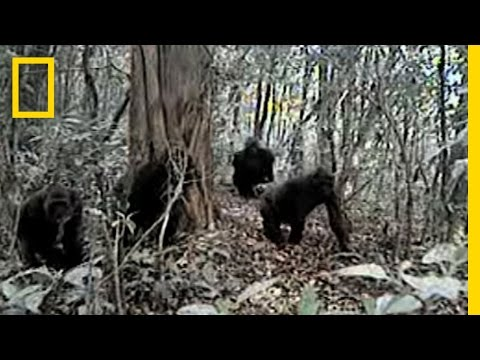 Rare Gorillas Caught on Camera | National Geographic