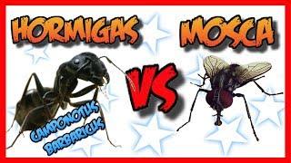HORMIGAS VS MOSCA/CAMPONOTUS BARBARICUS