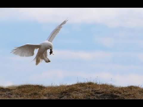 Alaska - birding trip 2015
