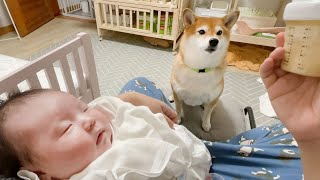 (Dogs And Babies)Our Dog is Trying to Take Care of Our Baby! (Surprising Motherhood Instinct of Dog)