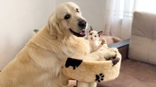 The Funniest Golden Retriever and Cutest Kitten  Amazing Friendship