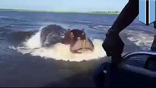 Głodny hipopotam goni łódź