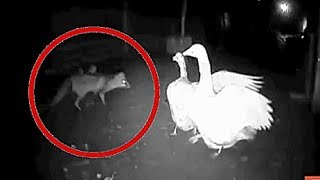 12 ВИДЕО хитрая лиса и куры  Охота лисы на кур утку гуся 2019
