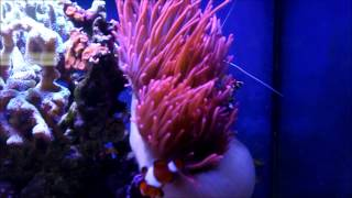 RBTA Large Rose bubble tip anemone eating a piece of fresh shrimp