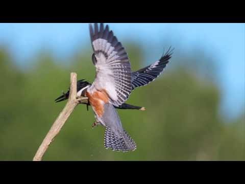 Belted Kingfisher HD720