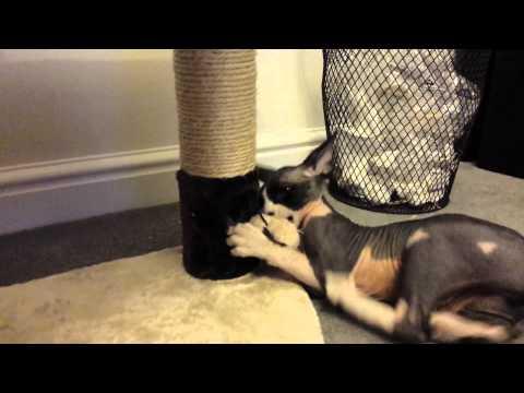 Sphynx cat craziness!