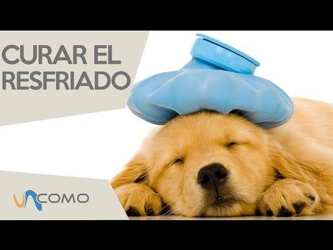 Cómo curar el resfriado en perros