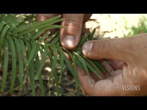 VISIONS — Wonderful Wollemis, Australia's