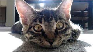Самые смешные приколы с котами - подборка смешных котов - greenli
