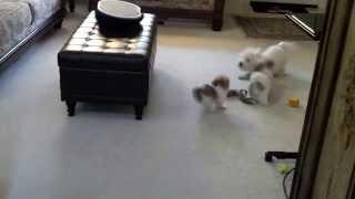 Mi-ki Vs. Maltipoo--my Maltese Poodle Shows Off Her Cutting Edge Puppy Dog Evasive Maneuvers