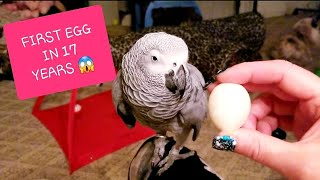 OMG! MOJO THE 17 YEAR OLD AFRICAN GREY LAID HER FIRST EGG 😱