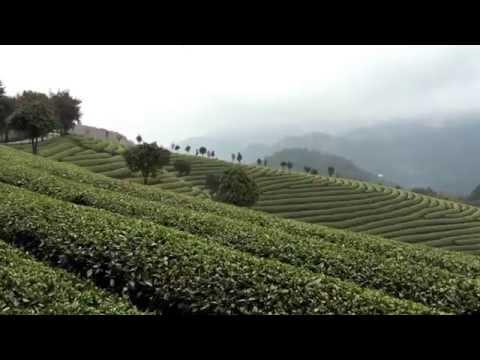 A heavenly organic tea plantation in China - Tg Green Teas