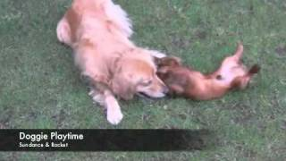 Dogs Golden Retriever And Dachshund
