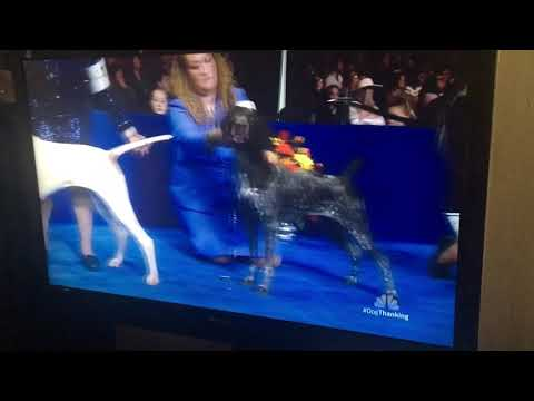 National Dog Show 2018 Sporting Group Breeds