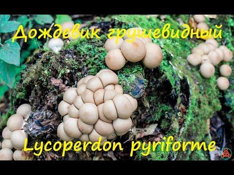 Дождевики — одни из наиболее вкусных грибов