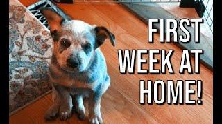 Puppy's first week at home!   Rocket