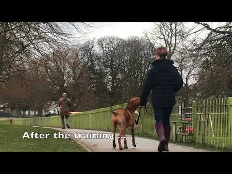 Hungarian Vizsla - In House Residential Dog Training