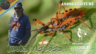 Food Forest - Inula viscosa (enula bacicci) - Rimedio naturale contro la mosca dell'olivo (pt 3)