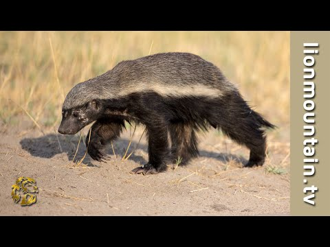 Spotted Hyena VS Honey Badger MATCH UP | CAUGHT IN THE ACT