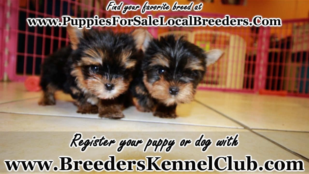 Teacup Yorkie Puppies For Sale In Ga Local Breeders Youtube