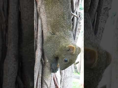 Taiwan squirrel eating walnut at Taipei 228 Park 2