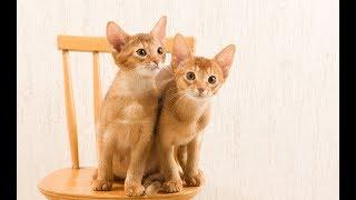 Веселые абиссинские котики | Приколы про абиссинских кошек