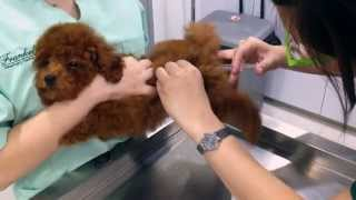 Truffles The Toy Poodle's 3rd Vaccination!