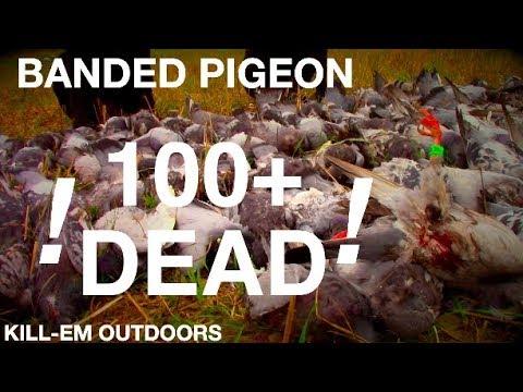 BANDED Evening Pigeon Hunt